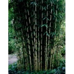 Fargesia robusta - sadzonki