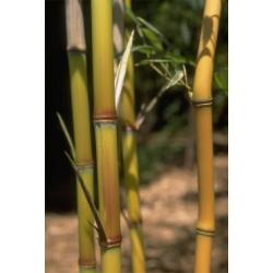 Phyllostachys aureosulcata f. aureocaulis - sadzonki