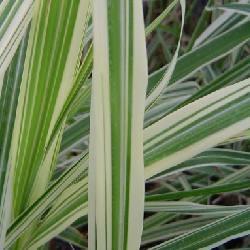 Miscanthus sinensis 'Variegatus' - sadzonki
