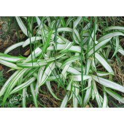 Carex siderosticha 'Shiro Nakafu'  - sadzonki