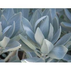 Biała szałwia - 250 g - najsilniejsza z roslin ochronnych i oczyszczajacych
