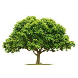 Posadź drzewo w Magicznej Oazie wielkosci ok. 50 cm Ezoteryka