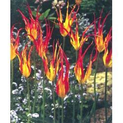 Tulipan botaniczny Acuminata 10 szt. hit