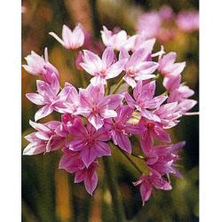 Czosnek Unifolium 100 szt. hit