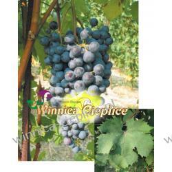 Sadzonki winorośli Dolcetto