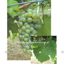 Sadzonka winorośli Riesling IT Rośliny owocowe