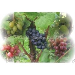 sadzonka winorośli Black Magic Rośliny owocowe
