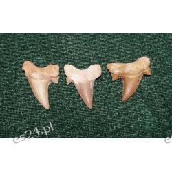 Ząb rekina: 65 mln lat - mały Skamieliny, minerały i muszle