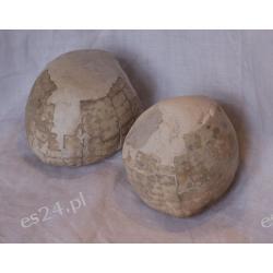 Jeżowiec Echinocorys Skamieliny, minerały i muszle