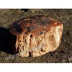 Skrzemieniałe drewno SKAM01 - wyjątkowy okaz - Madagaskar Pozostałe