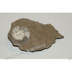Amonit - piękna, naturalna skamieniałość SKAM08 Skamieliny, minerały i muszle