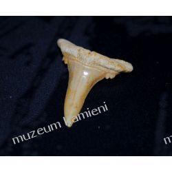 Ząb rekina: 65 mln lat - mały SKAM17 Skamieliny, minerały i muszle