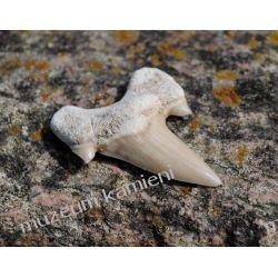 Ząb rekina: 65 mln lat - mały SKAM24 Skamieliny, minerały i muszle