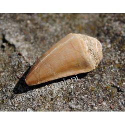 Ząb mozazaura SKAM21 Skamieliny, minerały i muszle