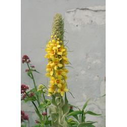 Dziewanna drobnokwiatowa 10 roślin za 9,99 zł