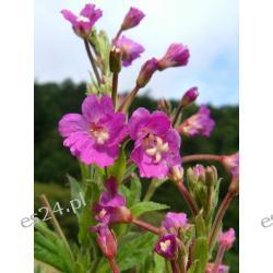 Wierzbownica kosmata 6 roślin za 6,99zł