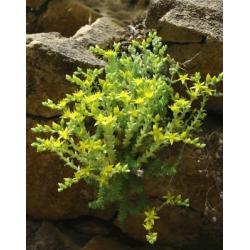 Rozchodnik pięknie kwitnąca bylina