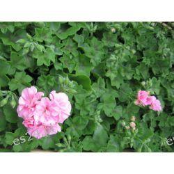 Pelargonia zwisająca, duże rośliny z kwiatami