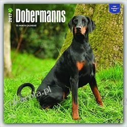 Kalendarz Dobermany Dobermanns 2017 Square Wall Calendar Dobermann