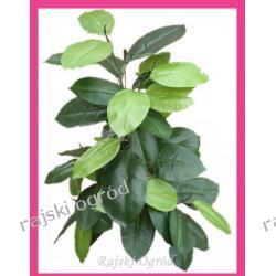 TANIO sztuczne drzewko FICUS wys jakość DOBRA CENA