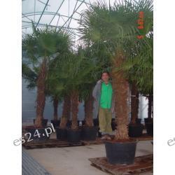 Trachycarpus  Fortunei 360cm