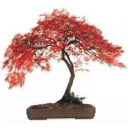 KLON PALMOWY bonsai - sadzonki