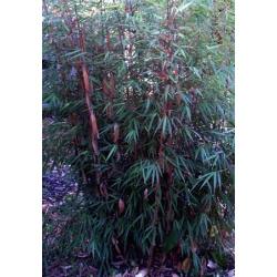 Fargesia nitida - sadzonki 40cm