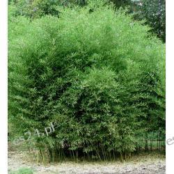 Phyllostachys Bisetti - sadzonki 50cm