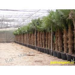 Trachycarpus Fortunei 250cm