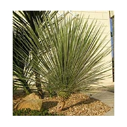 Yucca Glauca-35°C - sadzonki