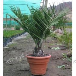 Jubea chilensis -15st - sadzonki