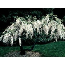Glicynia chińska-Wisteria sinensis alba - nasiona