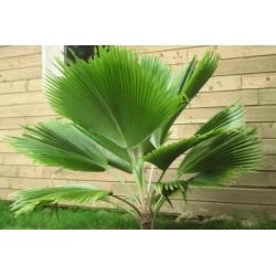 Licuala grandis - sadzonki 85cm