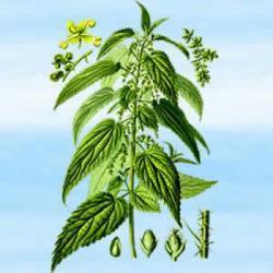 Nasiona pokrzywy - 25 g - niezastąpione w rytuałach miłosnych, seksualnych i namiętności
