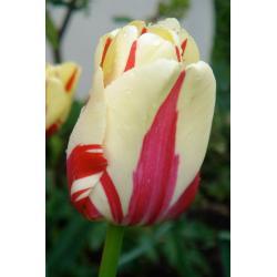 Tulipan Rembrandta Grand Perfection 10 szt. hit