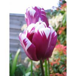 Tulipan Rembrandta Rem's Favourite 10 szt. hit
