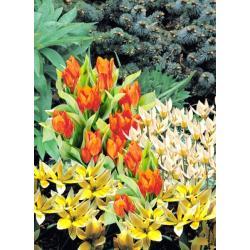 Tulipan botaniczny Mieszanka 10 szt. hit