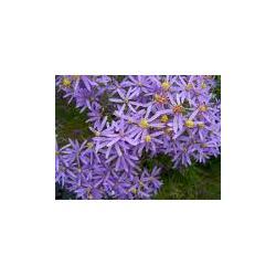 SADZONKA kłącze Aster ericoides Blue Star