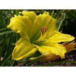 Sadzonka Liliowiec ogrodowy Green Flutter