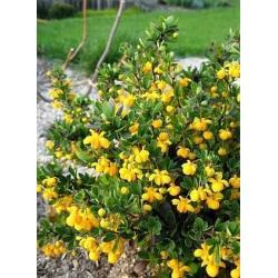 SADZONKA W DONICZCE Berberys Buxifolia Nana hit