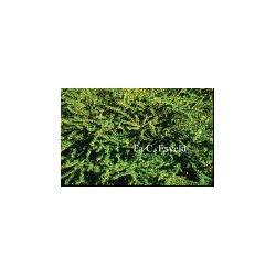 SADZONKA W DONICZCE Berberys Green ornament