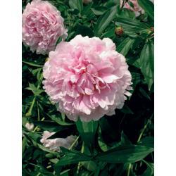 Sadzonka Kłącze Piwonia Sarah Bernhardt