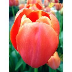 Tulipan pojedynczy późny Avignon 10 szt. hit