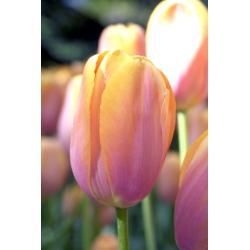 Tulipan pojedynczy późny Dordogne 10 szt. hit