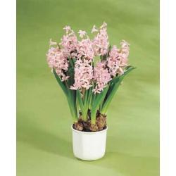 Hiacynty multiflora Różowe 10 szt. hit