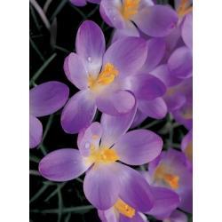 Krokusy wiosenne Tommasinianus Whitewell Purple