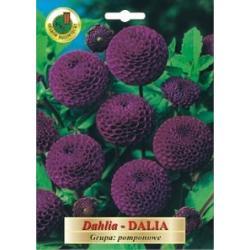 Cebulka 1 szt Dalia pomponowe fioletowa nowość
