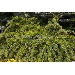 SADZONKA W DONICZCE Berberys Green Carpet hit