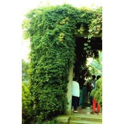 SADZONKA W DONICZCE Akebia pięciolistkowa pnącze