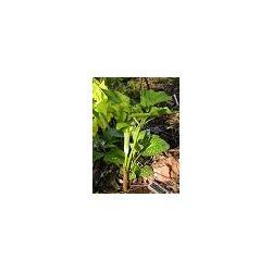 SADZONKA W DONICZCE Arisema kwiaty jasno zielone
